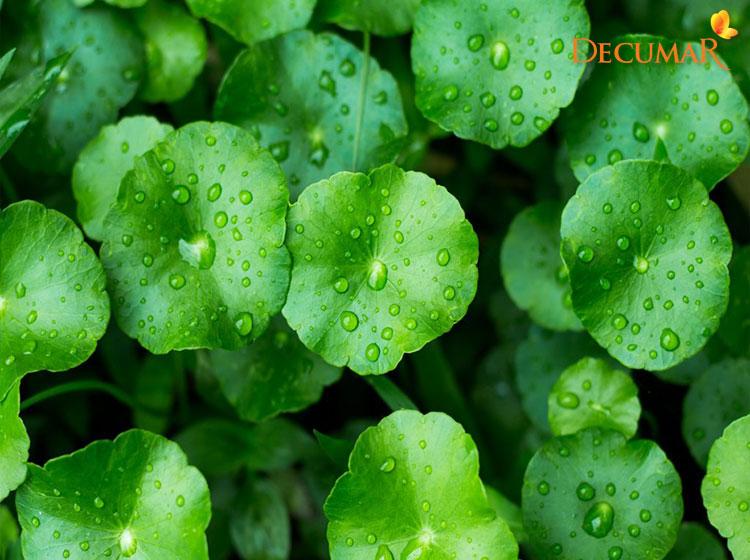Đắp rau má và uống nước rau má để trị thâm mụn