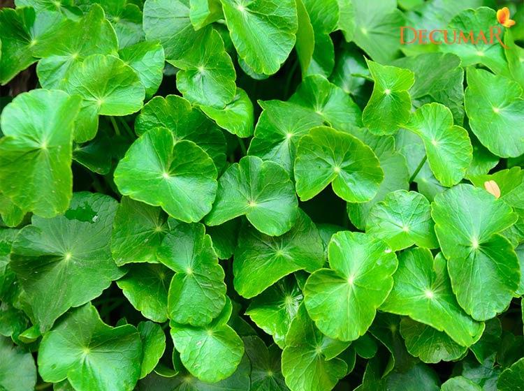 Lá rau má trị sẹo thâm lâu năm nhanh nhất